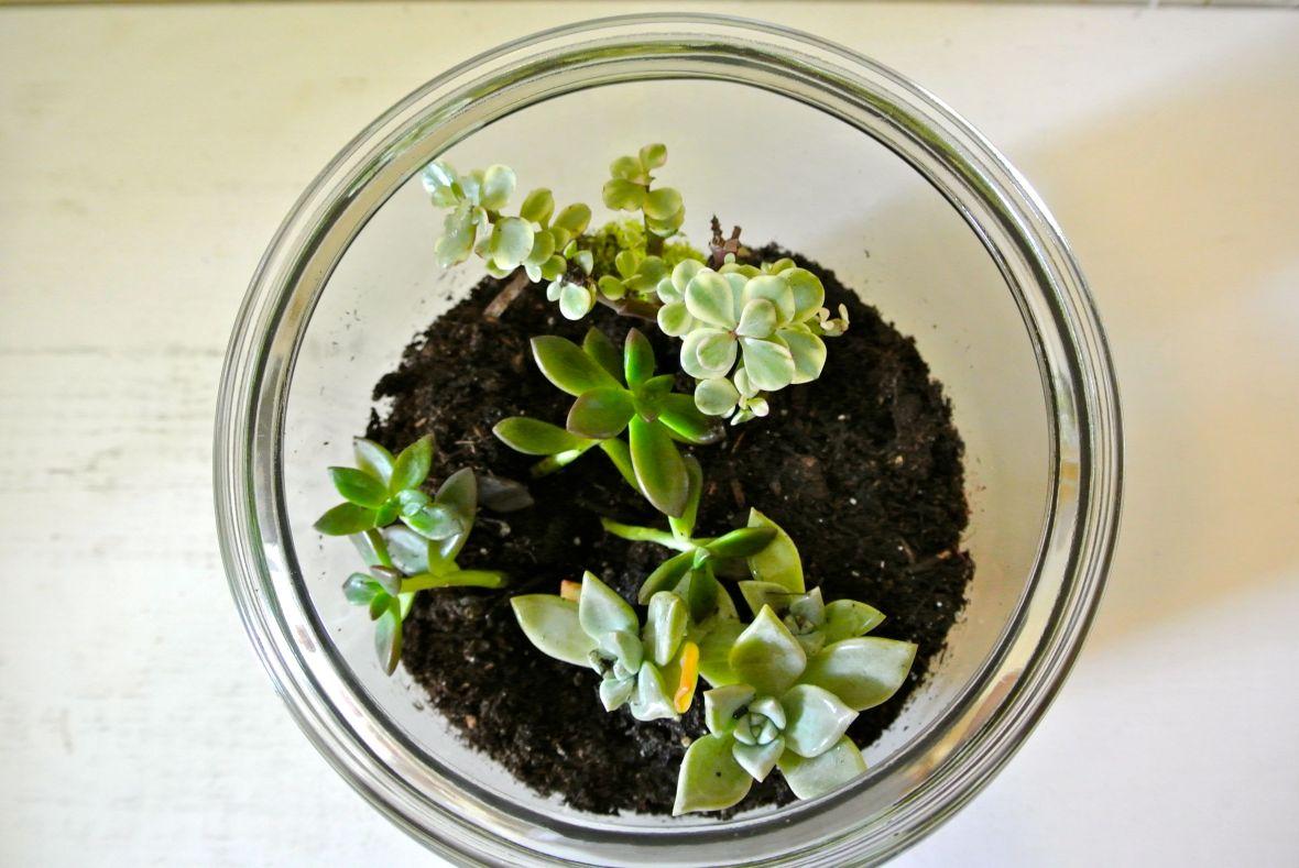 DIY Terrarium  - succulent